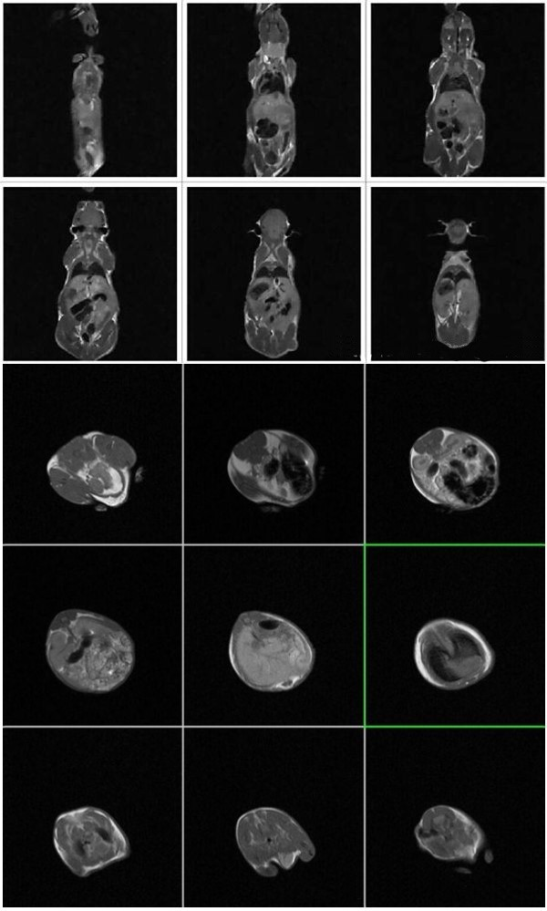 小鼠 MRI 成像